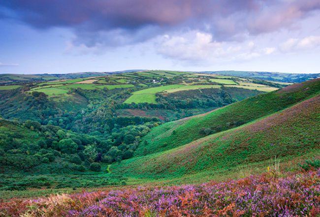 flowering_heather__exmoor_national_park__england